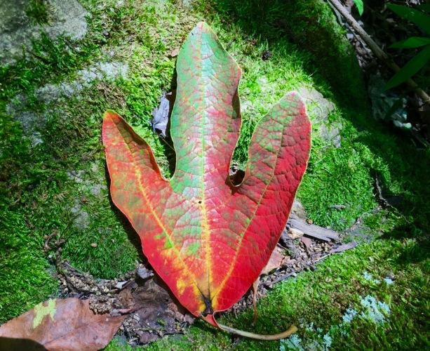 sassafras-leaf